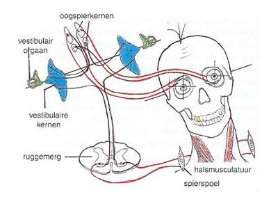 Informatieverwerking via oogspieren.